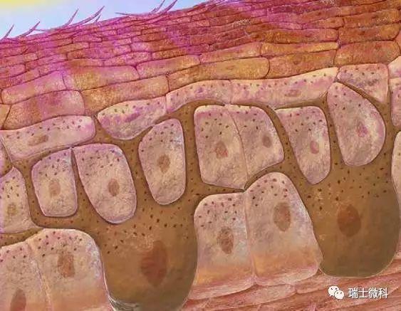 瑞士微科皮肤构造