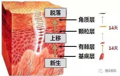 角质层位于皮肤表皮最外层, 能够保护皮肤,防止水分流失。
