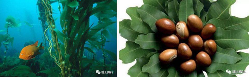 乳木果,海藻灵