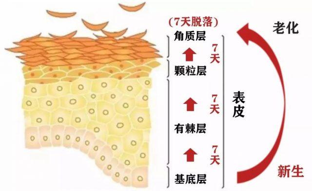 皮肤结构新陈代谢