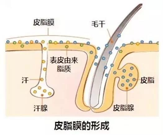 皮脂膜的形成