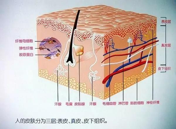人的皮肤分为三层:表皮、真皮、皮下组织