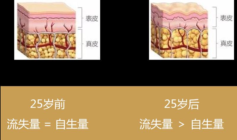 25岁前后皮肤胶原蛋白流失情况对比
