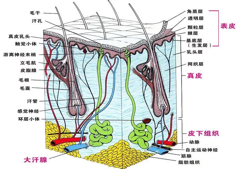皮肤是一个整体,表皮层主导皮肤的肤质和肤色;真皮层主导皮肤的支撑力,紧实、皱纹、松弛下垂的问题;皮下组织主导凹陷,肌肉下垂等问题。皮肤每一个层面的机能出现了问题都会相互影响。